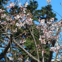 十月桜(じゅうがつさくら)という花
