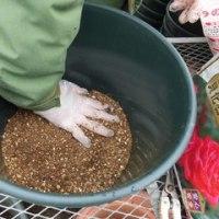 イングリッシュローズの鉢へ植え付け