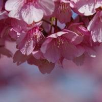 満開の花びら、河津桜 2017