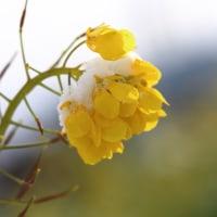 雪と花 ナノハナ 2