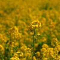 菜の花の黄色からは春の暖かさが伝わってきますよね。 (Photo No.11811)