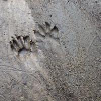 アライグマの足跡