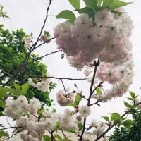 やっと晴天の日の八重桜の濃淡