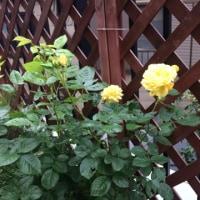 バラの季節  コモンテラス