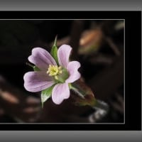 可愛い野草の花