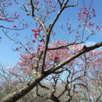 梅は、咲いたかな~!!