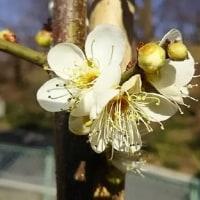 (=^・^=)だんご?白い梅が咲いた!