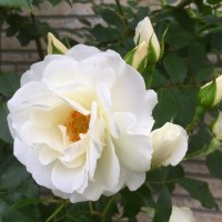 庭のお花達 今日の薔薇・ボレロ他