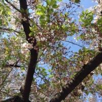桜、胴吹き、桜蘂
