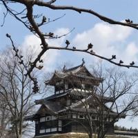 桜盆栽と高田公園の桜