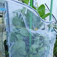 家庭菜園 プランター 10号ポットの金盞花このネットが役に立ったな