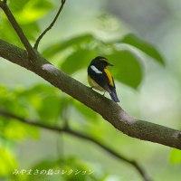 今日の鳥コレクション・・・キビタキ