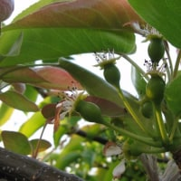 秋栄梨の幼果