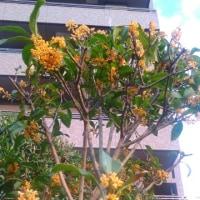 金木犀の二度咲き