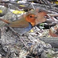 今日の野鳥、コマドリ ・ キビタキ ・・・ 。