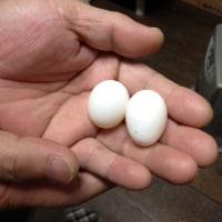 シロハラインコ2個目産卵