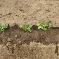 ジャガ芽挿し栽培の苗の採取と植え付け