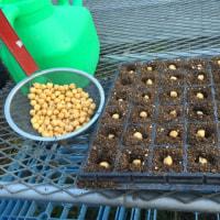 ひよこ豆 2度目の種まき
