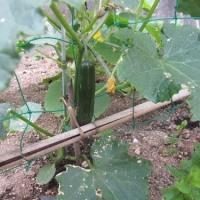 夏野菜 初めての収穫