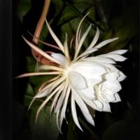 PM8:55 今年最後の月下美人の花が開きました