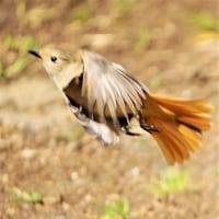 今日の野鳥     ジョウビタキ・エナガ・カイツブリ