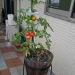 2061☆今年初のトマトの収穫2017☆