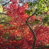 12月9日(金曜日)「紅葉」(てまりさん)