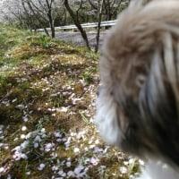 桜満開お花見だよ