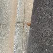 オサンポ walk - 蝉セミ : 脱皮蝉 shed a cicada's old skin