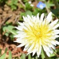 きれいに開いたシロバナタンポポの花