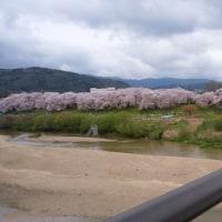 桜で一句  後かご はなびらおどる 雨上がり (ブログ内容とはあいませんが)