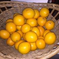 マイヤーレモン今期終売のお知らせ
