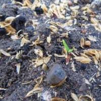 天気よければ一気に収穫したいサツマイモ