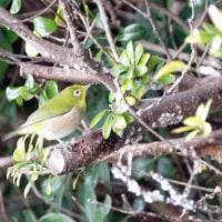 1/23探鳥記録写真(狩尾岬の鳥たち:タヒバリ、ハマシギ、シロチドリ、ヒメウ他)