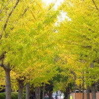 笠松運動公園の公孫樹