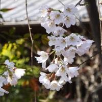 犬山・圓明寺の枝垂れ桜