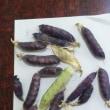 ツタンカーメンの豆