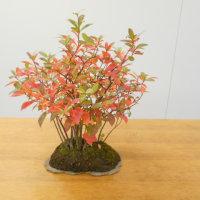 「草もの盆栽を楽しむ会」の10月例会