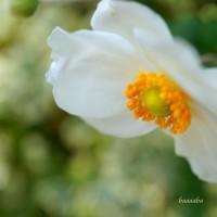 ホトトギス咲きました。。