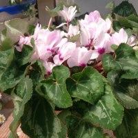 ガーデンシクラメン3年目の開花