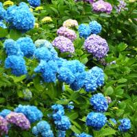 咲きはじめが美しい ~高田公園の紫陽花~