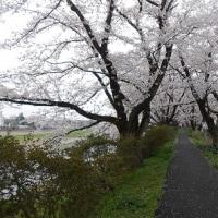 桜の花と菜の花と!