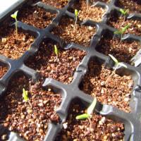 トマトとレタスが発芽してきた!