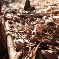 咲き始めた山梨県の越野の君  平成29年3月22日
