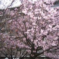 ログキャビンの小物入れ1&大阪の桜