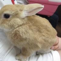 ウサギ専門診療科69 2度の手術