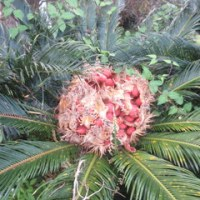 秋の最後の日、ソテツの鮮やかな実から芽が出て、ススキがそよいでいる!