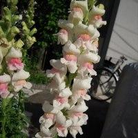 金魚草が次々と花咲いて・・・ (花便り・・265・・)
