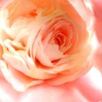 はなやか椿の花