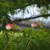 ネムノキに花が咲き始め、百合の花が力強く咲く・・・富山市水橋